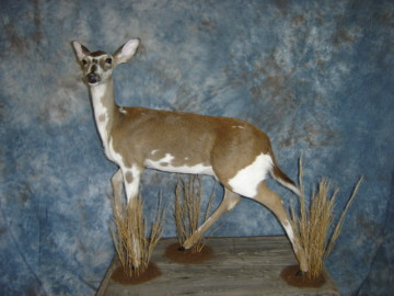 Buck Fever Taxidermy- Newellton, Louisiana, Tensas Parish - Price List